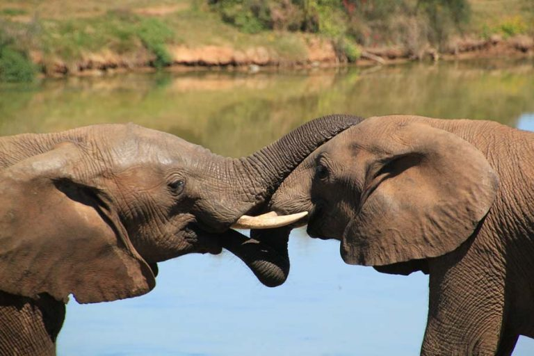 2 Elefanten im Kampf