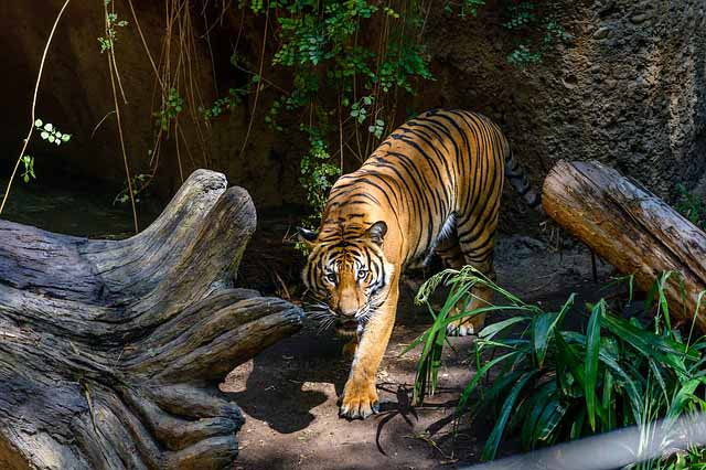 Tiger in San Diego Zoo