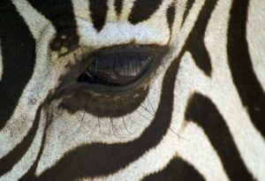 Zebra Auge Nahaufnahme