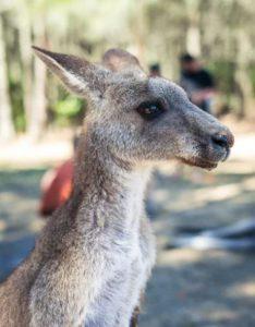 Kangaruh, Mietwagen Alice Springs
