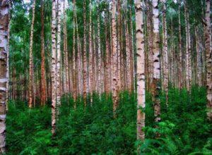 Birkenwald in Finnland
