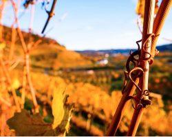 Offenburg im Herbst zur Weinlese