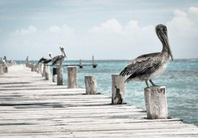 Pelikane auf Holzsteg in Miami Beach