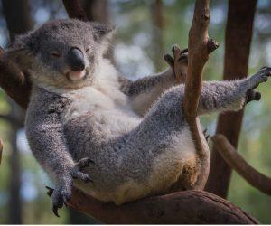 motorrad mieten australien koala beitragsbild